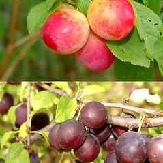 Fruits: Prunus insititia. ~ By Stanislav KrejcÕk. ~ Copyright © 2019 Stanislav KrejcÕk. ~ Stanislav Krejcik www.meloidae.com  ~ Biolib - www.biolib.cz