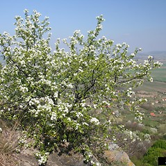 Plant form: Prunus mahaleb. ~ By Robert Vid_ki. ~ Copyright © 2019 CC BY-NC 3.0. ~  ~ Bugwood - www.bugwood.org/