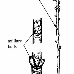Winter buds: Prunus mahaleb. ~ By West Virgina University Press. ~ Copyright © 2019 West Virgina University Press. ~ carrie.mullen[at]mail.wva.edu ~ Core, Earl L. and Nelle P. Ammons. 1958. Woody Plants in Winter. West Virginia U. Press, Morgantown, WV. 218pp.