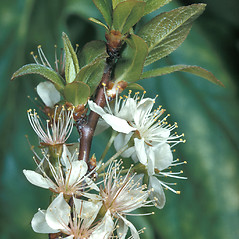 Flowers: Prunus maritima. ~ By Adelaide Pratt. ~ Copyright © 2017 New England Wild Flower Society. ~ Image Request, images[at]newenglandwild.org