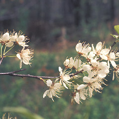 Flowers: Prunus maritima. ~ By Lawrence Newcomb. ~ Copyright © 2019 New England Wild Flower Society. ~ Image Request, images[at]newenglandwild.org