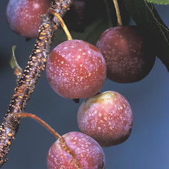 Fruits: Prunus maritima. ~ By Adelaide Pratt. ~ Copyright © 2017 New England Wild Flower Society. ~ Image Request, images[at]newenglandwild.org