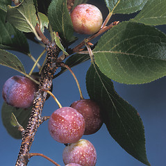Fruits: Prunus maritima. ~ By Adelaide Pratt. ~ Copyright © 2020 New England Wild Flower Society. ~ Image Request, images[at]newenglandwild.org