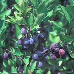 Fruits: Prunus maritima. ~ By John Lynch. ~ Copyright © 2020 New England Wild Flower Society. ~ Image Request, images[at]newenglandwild.org