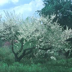 Plant form: Prunus maritima. ~ By Lucien Taylor. ~ Copyright © 2020 New England Wild Flower Society. ~ Image Request, images[at]newenglandwild.org