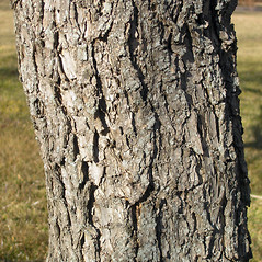 Bark: Prunus nigra. ~ By Bruce Patterson. ~ Copyright © 2018 Bruce Patterson. ~ foxpatterson[at]comcast.net