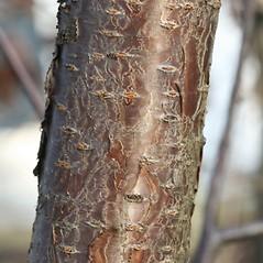 Bark: Prunus pensylvanica. ~ By Arieh Tal. ~ Copyright © 2018 Arieh Tal. ~ http://botphoto.com/ ~ Arieh Tal - botphoto.com