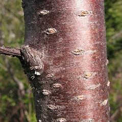 Bark: Prunus pensylvanica. ~ By Marilee Lovit. ~ Copyright © 2017 Marilee Lovit. ~ lovitm[at]gmail.com