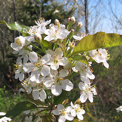 Flowers: Prunus pensylvanica. ~ By Marilee Lovit. ~ Copyright © 2017 Marilee Lovit. ~ lovitm[at]gmail.com