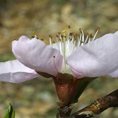 Flowers: Prunus persica. ~ By Steven Baskauf. ~ Copyright © 2018 CC-BY-NC-SA. ~  ~ Bioimages - www.cas.vanderbilt.edu/bioimages/frame.htm
