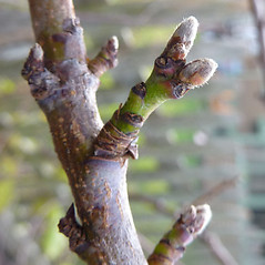 Winter buds: Prunus persica. ~ By Jill Weber. ~ Copyright © 2019 Jill Weber. ~ jillweber03[at]gmail.com