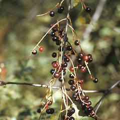 Fruits: Prunus serotina. ~ By Frank Bramley. ~ Copyright © 2019 New England Wild Flower Society. ~ Image Request, images[at]newenglandwild.org