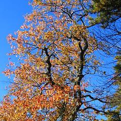 Plant form: Prunus serotina. ~ By Alexey Zinovjev. ~ Copyright © 2017. ~ webmaster[at]salicicola.com ~ Salicicola - www.salicicola.com/