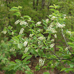 Plant form: Prunus serotina. ~ By Karen Searcy. ~ Copyright © 2020 Karen Searcy. ~ ksearcy[at]bio.umass.edu
