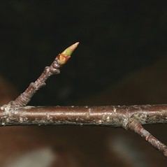 Winter buds: Prunus serotina. ~ By Steven Baskauf. ~ Copyright © 2018 CC-BY-NC-SA. ~  ~ Bioimages - www.cas.vanderbilt.edu/bioimages/frame.htm