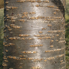 Bark: Prunus serrulata. ~ By Bruce Patterson. ~ Copyright © 2019 Bruce Patterson. ~ foxpatterson[at]comcast.net