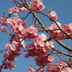 Flowers: Prunus serrulata. ~ By Robert Vid_ki. ~ Copyright © 2017 CC BY-NC 3.0. ~  ~ Bugwood - www.bugwood.org/