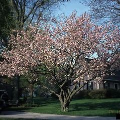 Plant form: Prunus serrulata. ~ By Richard Webb. ~ Copyright © 2017 CC BY-NC 3.0. ~  ~ Bugwood - www.bugwood.org/