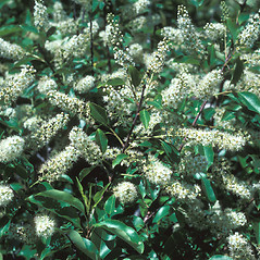 Plant form: Prunus virginiana. ~ By John Lynch. ~ Copyright © 2019 New England Wild Flower Society. ~ Image Request, images[at]newenglandwild.org