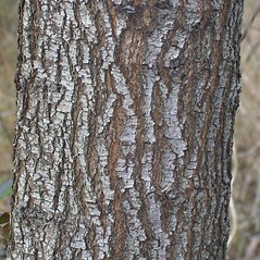 Bark: Pyrus calleryana. ~ By Steven Baskauf. ~ Copyright © 2018 CC-BY-NC-SA. ~  ~ Bioimages - www.cas.vanderbilt.edu/bioimages/frame.htm