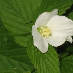Flowers: Rhodotypos scandens. ~ By Alexey Zinovjev. ~ Copyright © 2020. ~ webmaster[at]salicicola.com ~ Salicicola - www.salicicola.com/