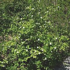 Plant form: Rhodotypos scandens. ~ By Paul S. Drobot. ~ Copyright © 2020 Paul S. Drobot. ~ www.plantstogrow.com, www.plantstockphotos.com ~ Robert W. Freckmann Herbarium, U. of Wisconsin-Stevens Point