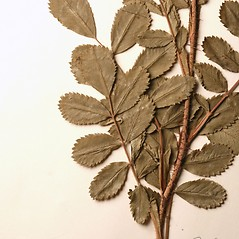 Leaves: Rosa arkansana. ~ By New England Botanical Club. ~ Copyright © 2017 New England Botanical Club. ~ No permission needed for non-commercial uses, with proper credit