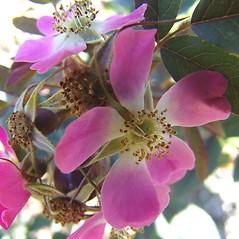 Flowers: Rosa glauca. ~ By Arnold Arboretum. ~ Copyright © 2019 Arnold Arboretum. ~ Arnold Arboretum Horticultural Library, hortlib[at]arnarb.harvard.edu