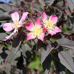 Flowers: Rosa glauca. ~ By Charles Brun. ~ Copyright © 2019. ~ brunc[at]wsu.edu ~ Pacific Northwest Plants - www.pnwplants.wsu.edu/