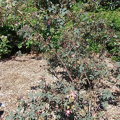Plant form: Rosa glauca. ~ By Arnold Arboretum. ~ Copyright © 2019 Arnold Arboretum. ~ Arnold Arboretum Horticultural Library, hortlib[at]arnarb.harvard.edu