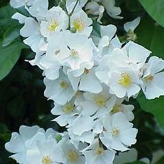 Flowers: Rosa luciae. ~ By Kurt Steuber. ~ Copyright © 2018 GNU Free Documentation License, Version 1.3. ~  ~ luirig.altervista.org/flora/taxa/north-america.php