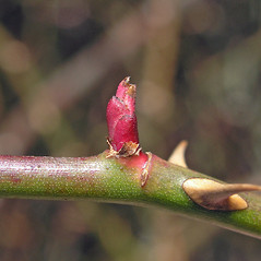 Winter buds: Rosa luciae. ~ By Bruce Patterson. ~ Copyright © 2018 Bruce Patterson. ~ foxpatterson[at]comcast.net