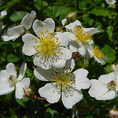 Flowers: Rosa multiflora. ~ By Arthur Haines. ~ Copyright © 2018. ~ arthurhaines[at]wildblue.net