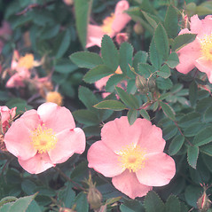 Flowers: Rosa palustris. ~ By John Lynch. ~ Copyright © 2018 New England Wild Flower Society. ~ Image Request, images[at]newenglandwild.org