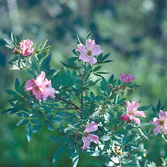 Plant form: Rosa palustris. ~ By Frank Bramley. ~ Copyright © 2018 New England Wild Flower Society. ~ Image Request, images[at]newenglandwild.org