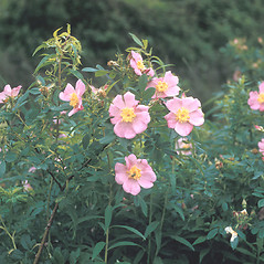 Plant form: Rosa palustris. ~ By Frank Bramley. ~ Copyright © 2017 New England Wild Flower Society. ~ Image Request, images[at]newenglandwild.org