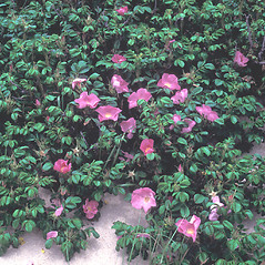 Plant form: Rosa rugosa. ~ By Frank Bramley. ~ Copyright © 2018 New England Wild Flower Society. ~ Image Request, images[at]newenglandwild.org