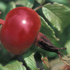 Fruits: Rosa virginiana. ~ By Dorothy Long. ~ Copyright © 2018 New England Wild Flower Society. ~ Image Request, images[at]newenglandwild.org