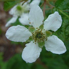 Flowers: Rubus allegheniensis. ~ By Arthur Haines. ~ Copyright © 2017. ~ arthurhaines[at]wildblue.net