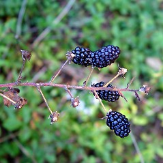 Fruits: Rubus allegheniensis. ~ By Arthur Haines. ~ Copyright © 2019. ~ arthurhaines[at]wildblue.net