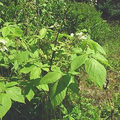 Plant form: Rubus allegheniensis. ~ By Glen Mittelhauser. ~ Copyright © 2017 Glen Mittelhauser. ~ www.mainenaturalhistory.org