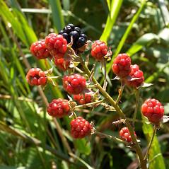 Fruits: Rubus argutus. ~ By John Hilty. ~ Copyright © 2017 John Hilty. ~ john[at]illinoiswildflowers.info ~ Illinois Wildflowers - www.illinoiswildflowers.info/index.htm
