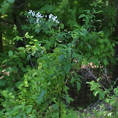 Plant form: Rubus argutus. ~ By Steven Baskauf. ~ Copyright © 2019 CC-BY-NC-SA. ~  ~ Bioimages - www.cas.vanderbilt.edu/bioimages/frame.htm