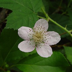 Flowers: Rubus bifrons. ~ By Arthur Haines. ~ Copyright © 2020. ~ arthurhaines[at]wildblue.net