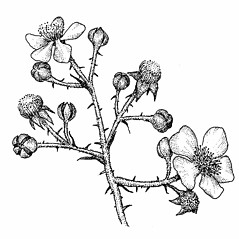 Flowers: Rubus bifrons. ~ By Elizabeth Farnsworth. ~ Copyright © 2019 New England Wild Flower Society. ~ Image Request, images[at]newenglandwild.org