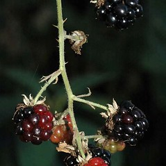 Fruits: Rubus bifrons. ~ By Ben Legler. ~ Copyright © 2020 Ben Legler. ~ mountainmarmot[at]hotmail.com ~ U. of Washington - WTU - Herbarium - biology.burke.washington.edu/herbarium/imagecollection.php