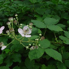 Plant form: Rubus bifrons. ~ By Arthur Haines. ~ Copyright © 2019. ~ arthurhaines[at]wildblue.net