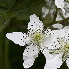 Flowers: Rubus canadensis. ~ By John Gwaltney. ~ Copyright © 2019 John Gwaltney. ~ southeasternflora.com ~ Southeastern Flora - www.southeasternflora.com/