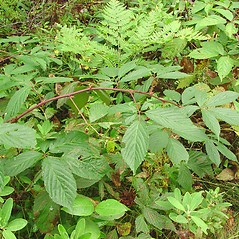 Plant form: Rubus canadensis. ~ By Glen Mittelhauser. ~ Copyright © 2019 Glen Mittelhauser. ~ www.mainenaturalhistory.org