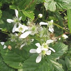 Flowers: Rubus elegantulus. ~ By Marilee Lovit. ~ Copyright © 2017 Marilee Lovit. ~ lovitm[at]gmail.com